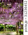 千光寺公園 藤 藤棚の写真 31236452