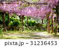 千光寺公園 藤 藤棚の写真 31236453