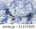 あじさい 紫陽花 アジサイの写真 31237605