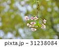 桜ソメイヨシノの枝 31238084