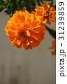 マリーゴールド 31239859