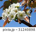 梨の花 31240898