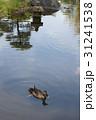 日本庭園のカルガモ 31241538