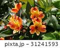 アルストロメリア 31241593