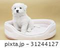 A Maltese puppy on its sleeping basket 31244127