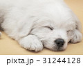 A Maltese puppy sleeping with orange background 31244128