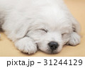 A Maltese puppy sleeping with orange background 31244129