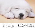 A Maltese puppy sleeping with orange background 31244131