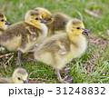 美しい ヒナ 雛の写真 31248832