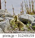 美しい ヒナ 雛の写真 31249159