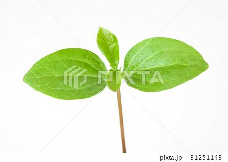 新しい葉, 新芽 31251143