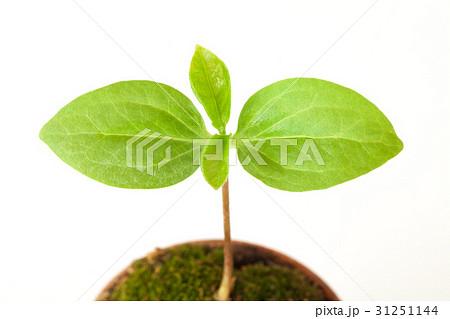 新しい葉, 新芽 31251144