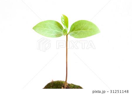 新しい葉, 新芽 31251148