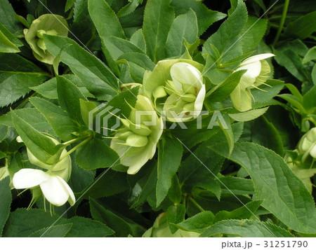 花の終わりに実の付いたクスマスローズ 31251790