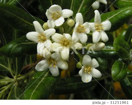 秋には黒い実を付けるシャリンバイの白い花 31251961
