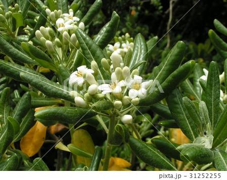 秋には黒い実を付けるシャリンバイの白い花 31252255