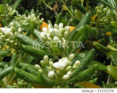 秋には黒い実を付けるシャリンバイの白い花 31252256
