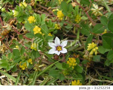 一際目立つ薄紫色の小さな花はニワゼキショウ 31252258