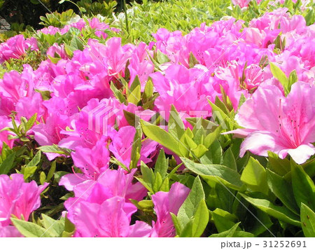 この桃色の花はサツキでしょうかツツジでしょうか 31252691