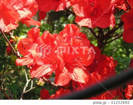 この赤色の花はサツキでしょうかツツジでしょうか 31252692