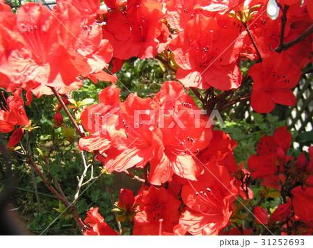 この赤色の花はサツキでしょうかツツジでしょうか 31252693