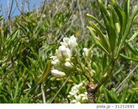 秋には赤い実を付けるトベラの白い花 31252695