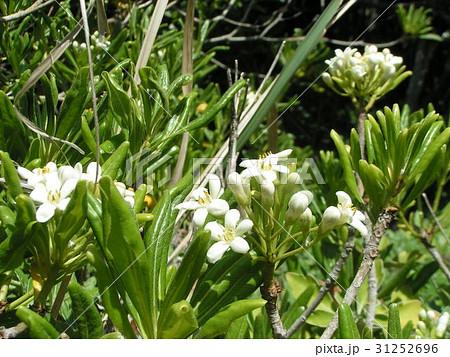 秋には黒い実を付けるトベライの白い花 31252696