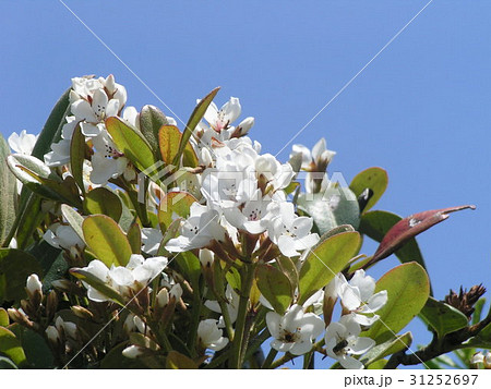 秋には黒い実を付けるシャリンバイの白い花 31252697
