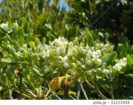 秋には黒い実を付けるシャリンバイの白い花 31252698