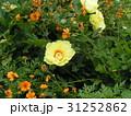 シャクヤクの大きい花は黄色い色 31252862