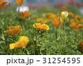 花菱草 31254595