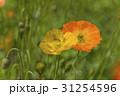ケシの花に集まるハチたち 31254596