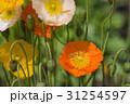 風に揺れるケシの花 31254597