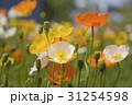 風に揺れるケシの花 31254598