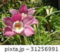 シンビジュームの大きな桃色の花 31256991