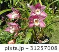 シンビジュームの大きな桃色の花 31257008