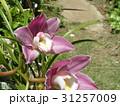 シンビジュームの大きな桃色の花 31257009