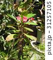 キリンのように細身の体の上に花を付けるハナキリン 31257105