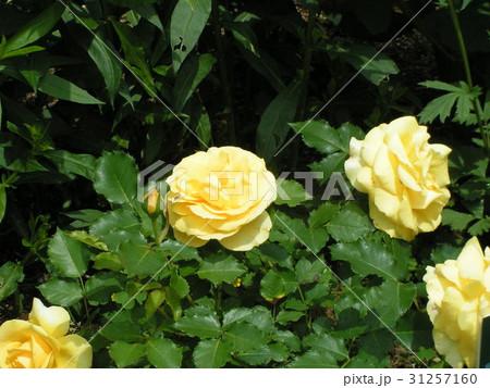 今が盛りのバラの黄色い花 31257160