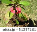 キリンのように細身の体の上に花を付けるハナキリン 31257161
