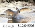 白鳥 水鳥 野鳥の写真 31264556