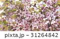 桜 サクラ サクランボの写真 31264842