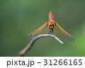 Image of dragonfly perched on a tree branch. 31266165