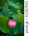 ハス スイレン 蓮の写真 31267655