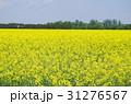 菜の花 菜の花畑 花の写真 31276567