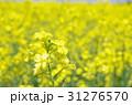 菜の花 花 春の写真 31276570