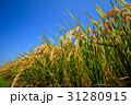 稲穂 青空 稲の写真 31280915