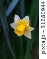 水仙の花 31280944