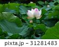 きれい 美しい 綺麗の写真 31281483