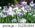 花菖蒲 31281844
